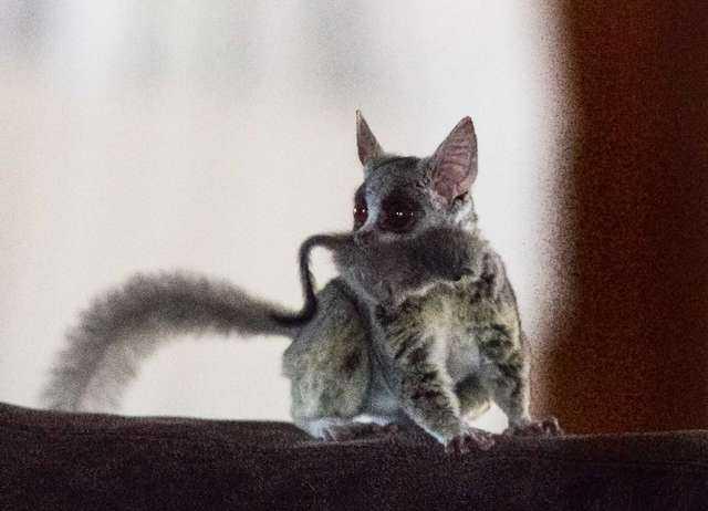 Znalazł malutkie zwierzątko na swojej kanapie. Maluch spadł na sofę prosto z sufitu