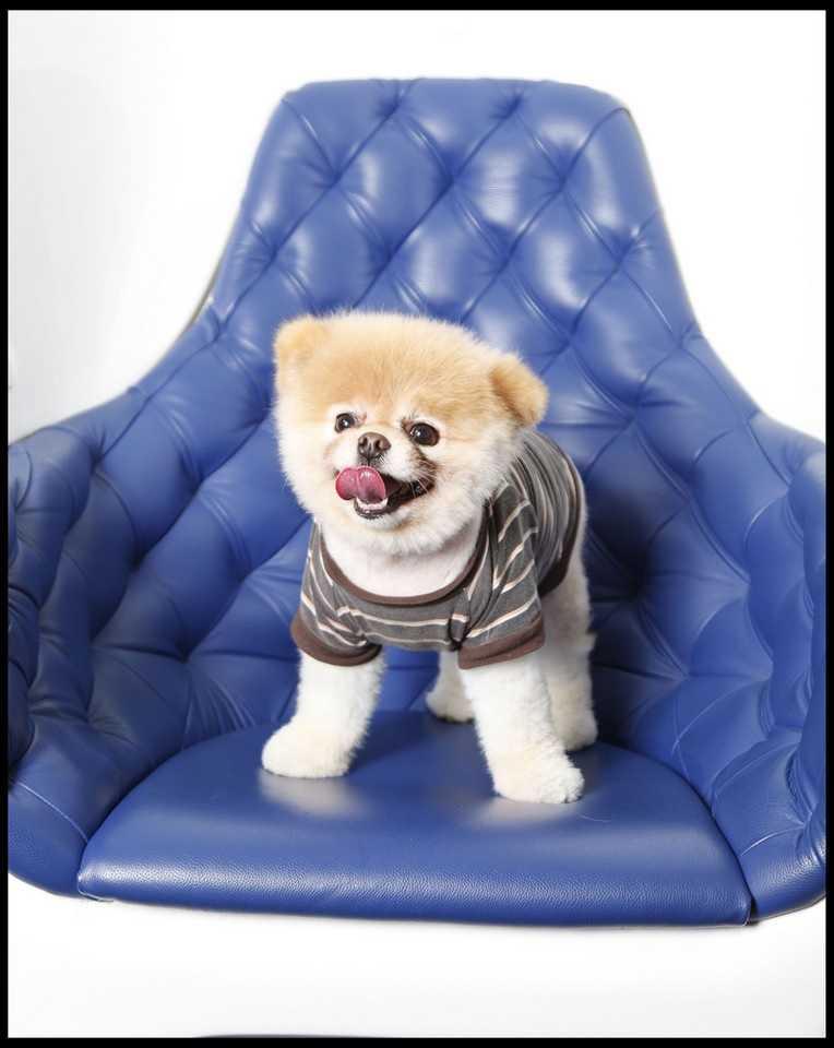 Nie żyje Boo - najsłodszy pies świata. Zachorował na serce po śmierci kolegi Buddy'ego
