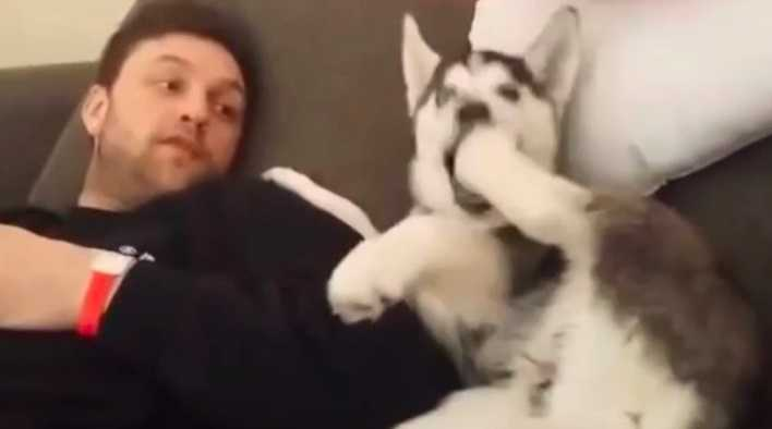Mały husky zawzięcie kłóci się ze swoim opiekunem. Ten filmik ma prawie 5 mln wyświetleń