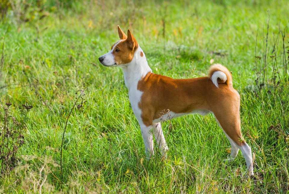 Oto 10 najbardziej nieposłusznych ras psów