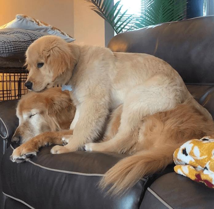 Niewidomy pies zyskał uroczego przewodnika. Mały szczeniak odmienił jego życie