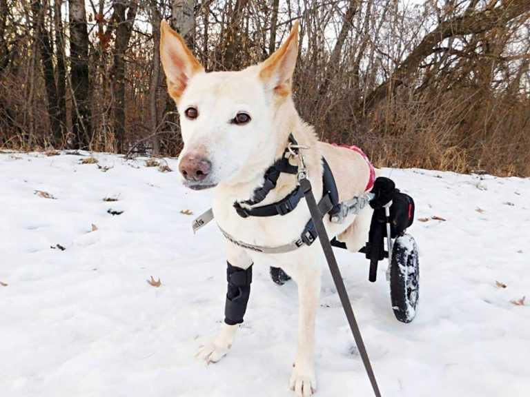 Sparaliżowana suczka porzucona na ulicy wraz ze niszczonym wózkiem inwalidzkim i paczką pieluch
