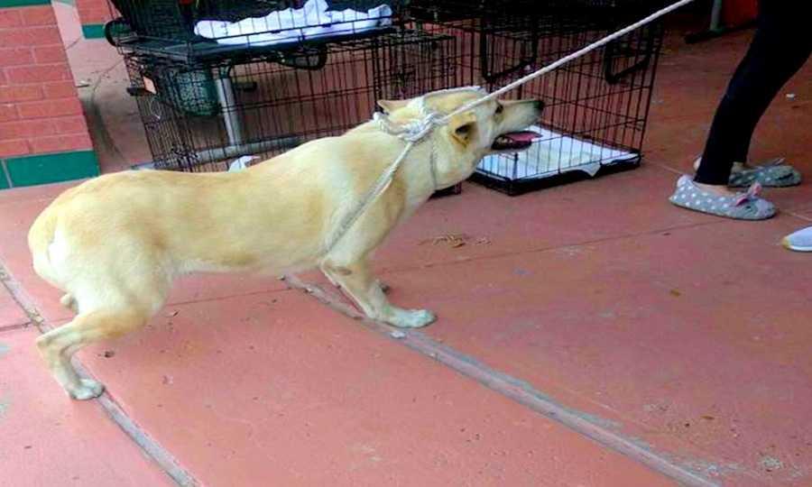 Pies piszczy, gdy rodzina siłą ciągnie go do schroniska. Postanowili się go pozbyć