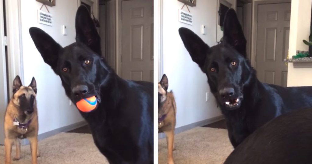 Pies pierwszy raz w życiu słyszy płaczące dziecko. Jego reakcja mówi sama za siebie