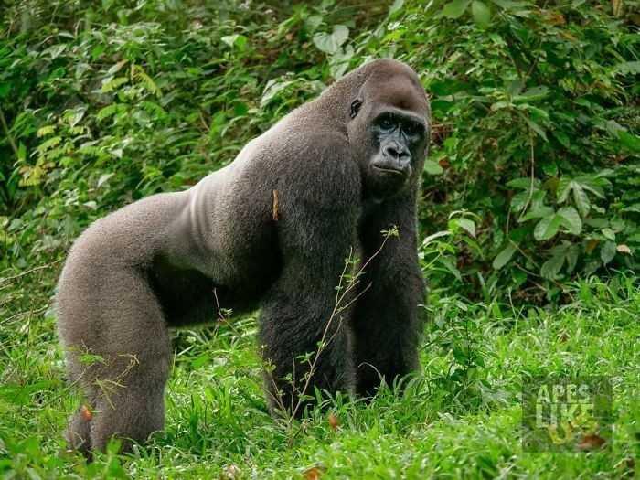 24-letni dominujący goryl spotyka w lesie malutką, bezbronną istotkę. Jego reakcja jest bezcenna