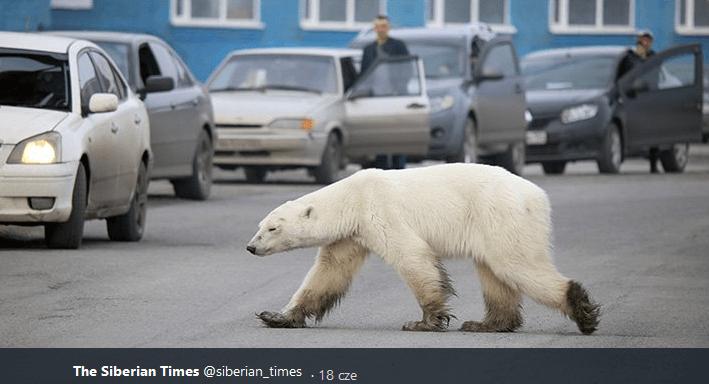 Niedźwiedź polarny setki mil od swojego naturalnego środowiska
