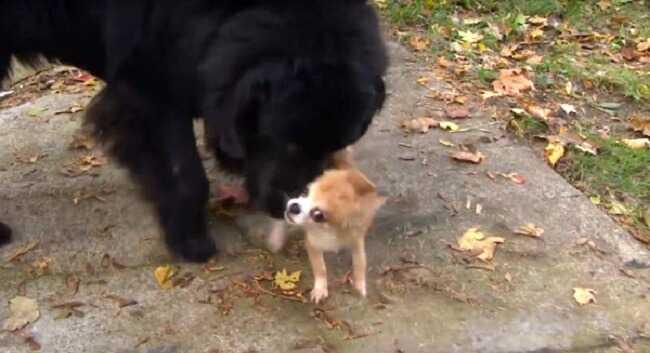 Ta maleńka chihuahua ocaliła życie ogromnego nowofundlanda. To co zrobiła dla niego wzrusza.