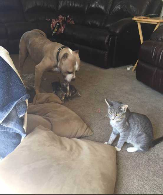 Pit bull leży na kanapie – zobacz jego reakcje kiedy zjawia się 5 kotków
