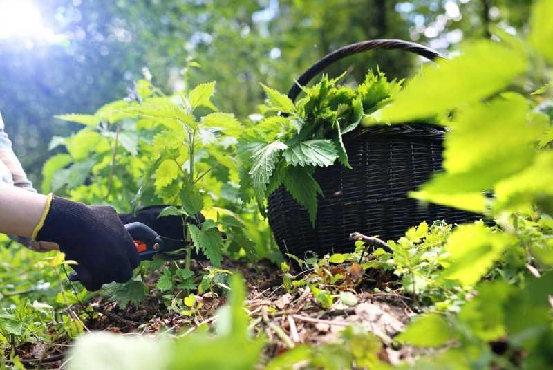 Skrzyp polny - jak wykorzystać w ogrodzie. Zastosowanie i prosty przepis