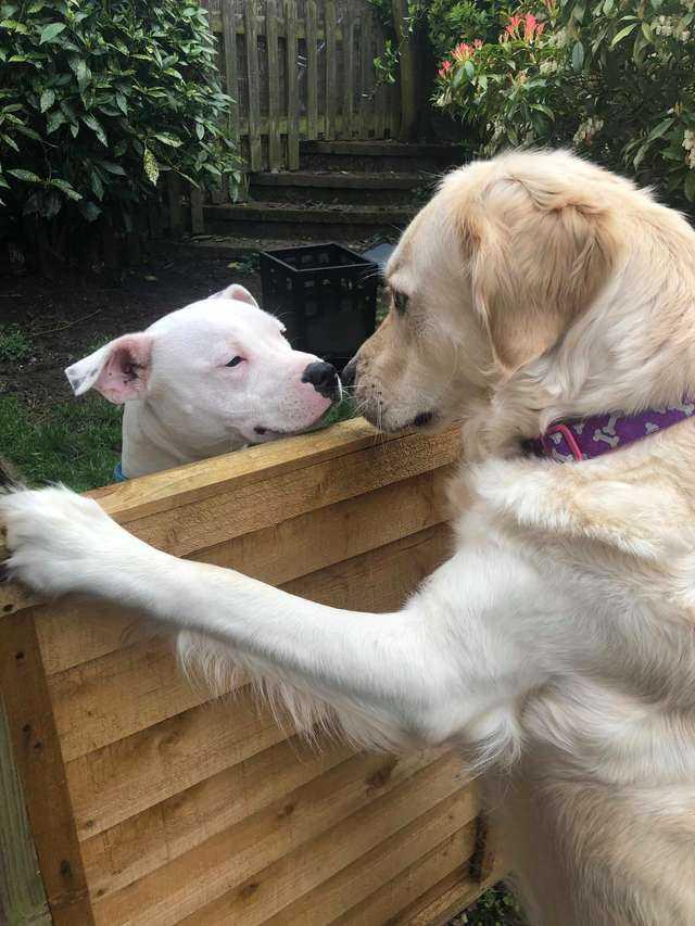 Niezwykła historia miłosna dwóch psiaków z sąsiedztwa. Niczym jak z bajki