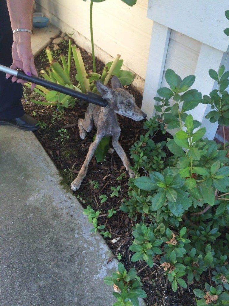 Kobieta znalazła przed drzwiami wychudzone, umierające zwierzę. Myślała, że pomaga psu, ale dopiero potem odkryła prawdę