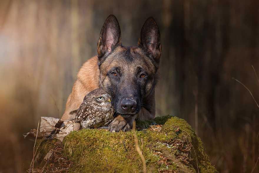 Owczarek niemiecki zakochał się w sowie. To co robią razem w lesie jest absolutnie niesamowite
