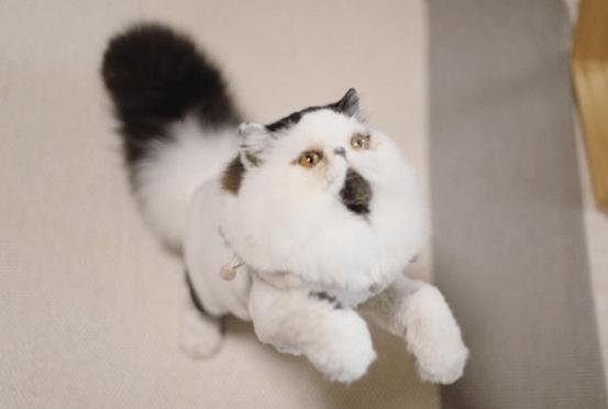Ten kot wygląda jak chodząca kulka lub chomik. Jest przeuroczy