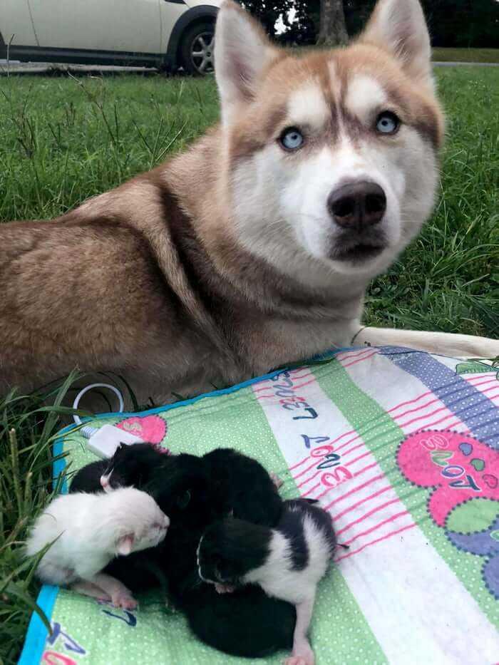 Husky znalazł w lesie siedem porzuconych kociąt. Postanowił zostać ich mamą