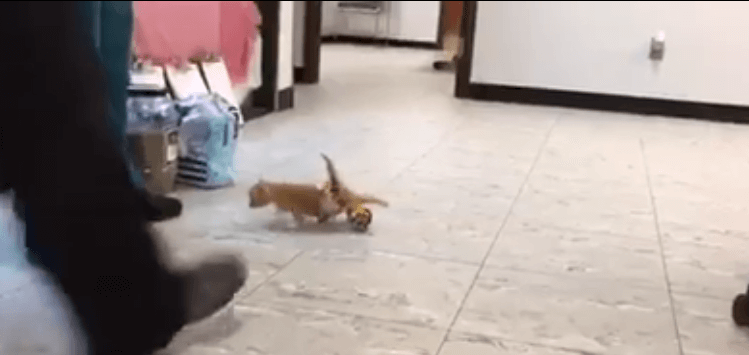Kotek z niepełnosprawnymi łapkami dostał swój pierwszy wózek. Wideo z jego pierwszymi krokami rozczula