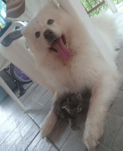 Ogromny pies jest zakochany w adoptowanym kotku. Nie opuszcza malucha na krok