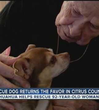 Chihuahua uratował życie swojej 92-letniej właścicielce. Przez kilka godzin szukał pomocy