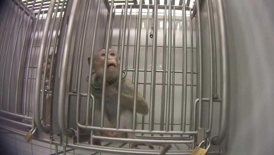 Piekło zwierząt w niemieckim laboratorium. Czy zostaną ukarani