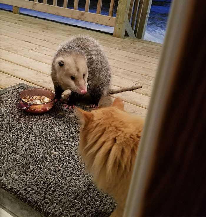 Kotek zauważył, że opos kradnie mu jedzenie. Jego reakcja mówi więcej niż tysiąc słów