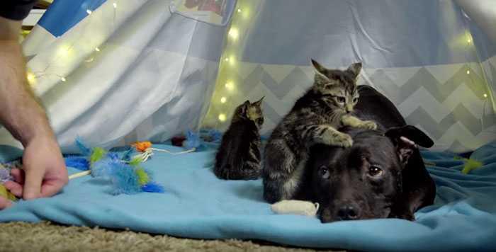 Kiedy mężczyzna dotknął tego agresywnego pit bulla pilnującego małych kotków wydarzyło się coś