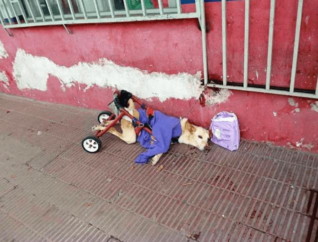 Sparaliżowana suczka została wyrzucona na ulicę. Dobrzy ludzie pomogli psu
