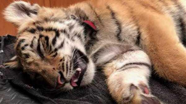 Strażnik graniczny znalazł czarną torbę – a w niej ledwo żywego małego tygrysa