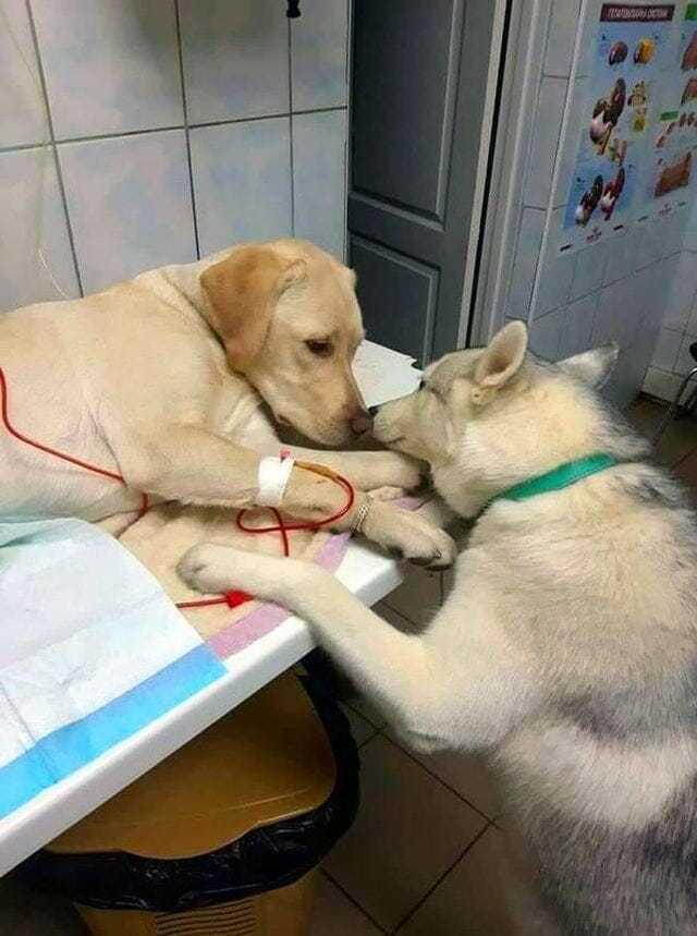 Chory pies czeka na leczenie – wspiera go inny pies terapeutyczny