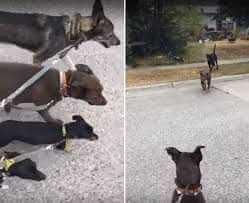 Spacerowała ze swoimi psami, aż nagle na jej drogę wybiegły dwa pit bulle