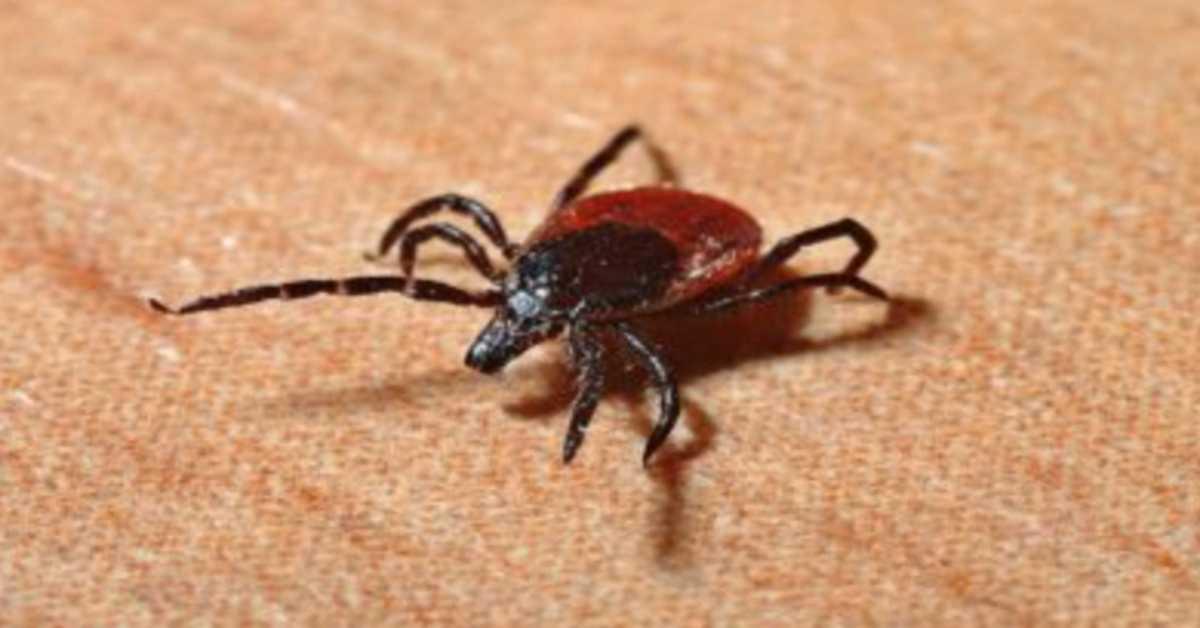 Zabójcze kleszcze atakują! Przenoszą wirusa wywołującego śmiertelną chorobę