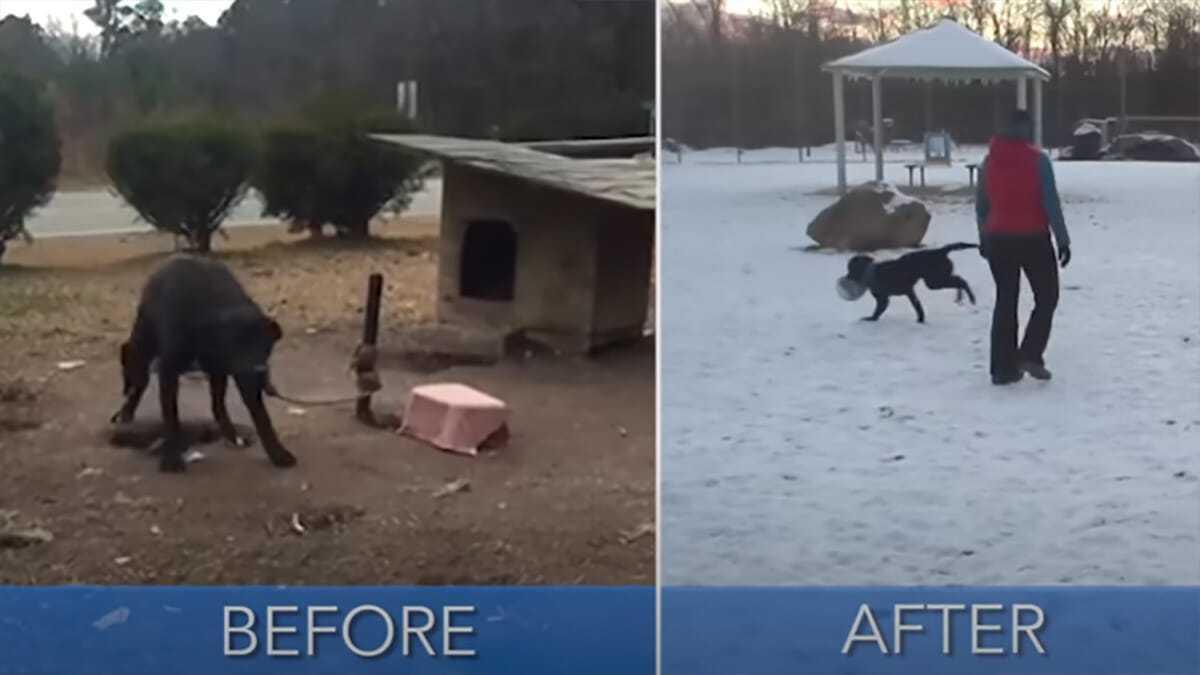 """Pies uwiązany do słupka za pomocą splątanej liny przez 24/7 został uratowany – właściciel """"nie był nim zainteresowany"""""""
