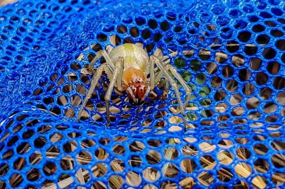 Groźny pająk w wielkopolskich lasach. Ukąszenie może powodować dwutygodniowe zatrucie