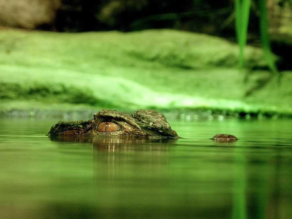 Aligator widziany na mokradłach we Wrocławiu. Spacerowicze powiadomili policję