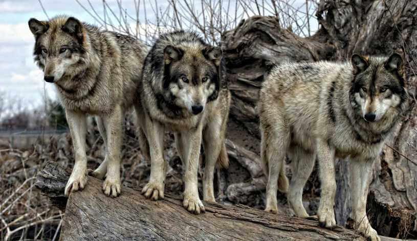 Brzozów: Agresywne wilki otoczyły mężczyznę w lesie