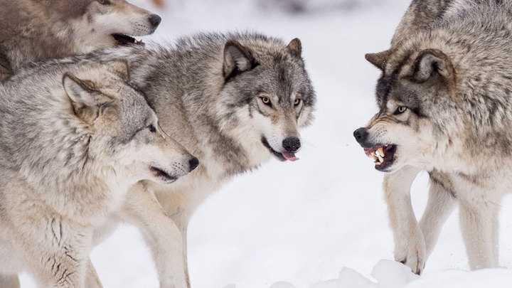Wilki w okolicy Bielska-Białej. Apel o ostrożność