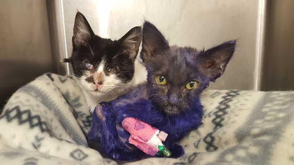 Kotek służył jako przynęta dla psów. Pofarbowano mu futerko na fioletowo, ale to dopiero początek