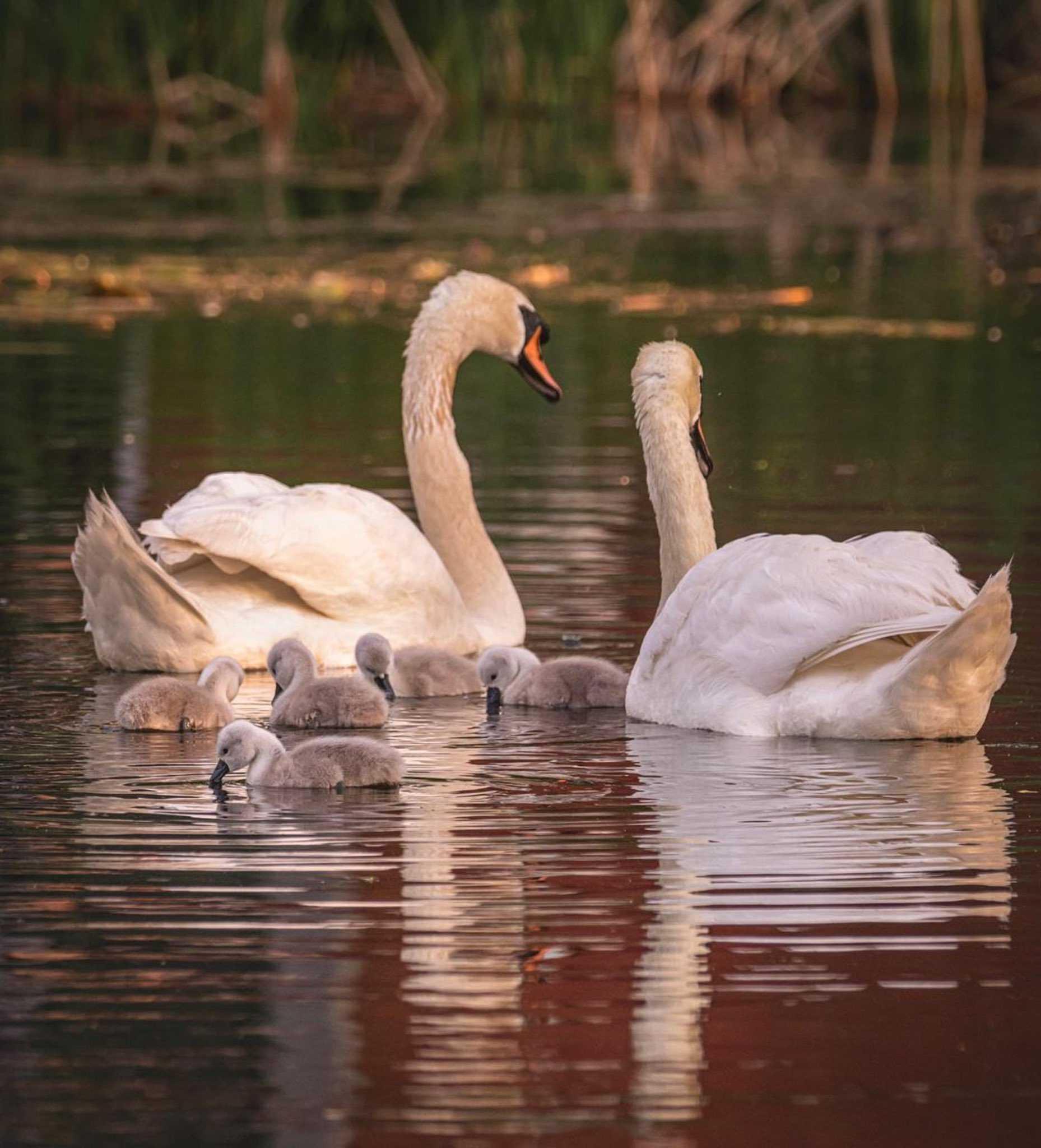Samiec łabędzia bierze dzieci pod swoje skrzydła po śmierci matki
