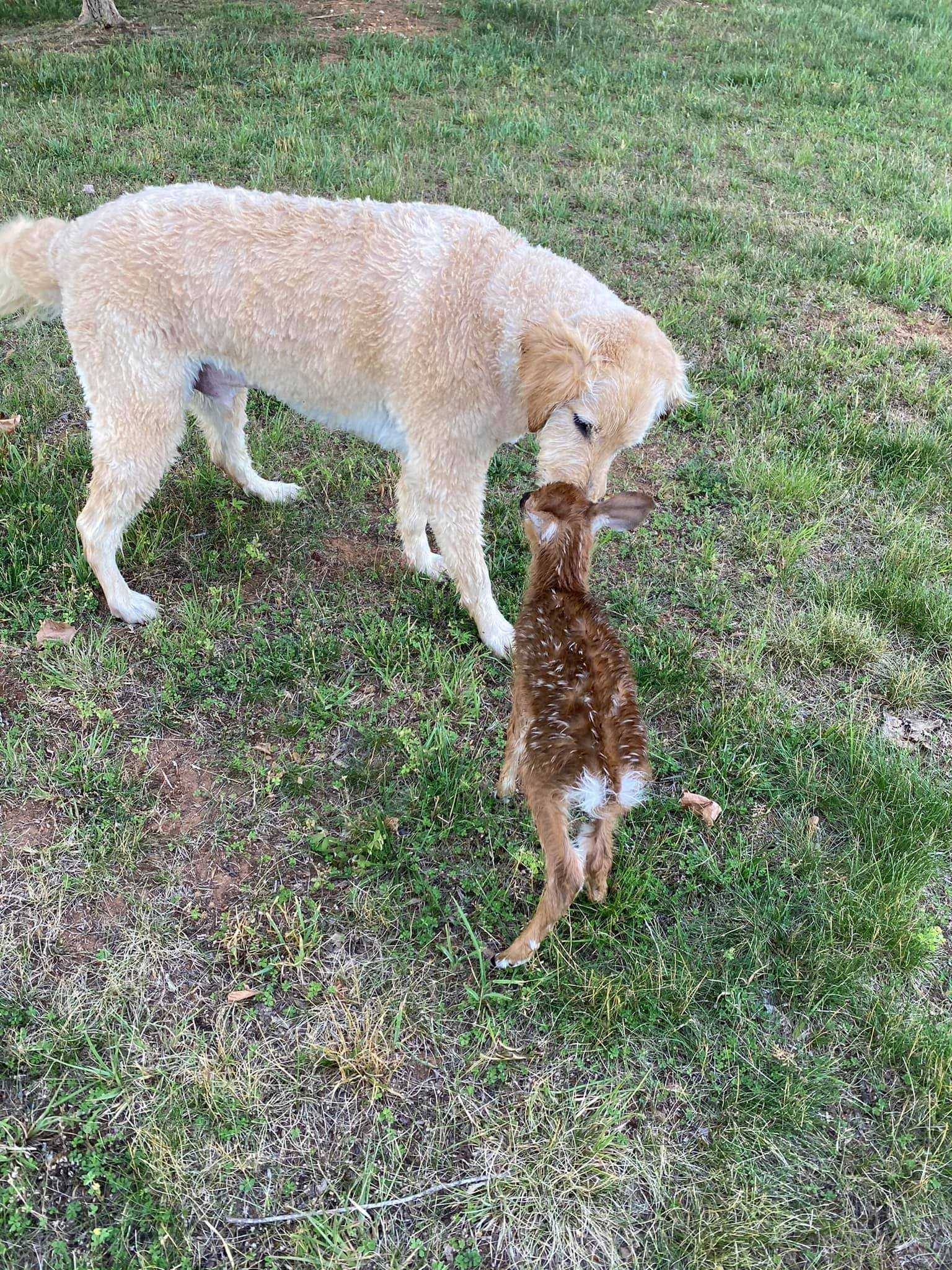 Bohaterski pies wskakuje do jeziora, aby uratować małego jelenia – dzięki temu zyskuje nowego przyjaciela