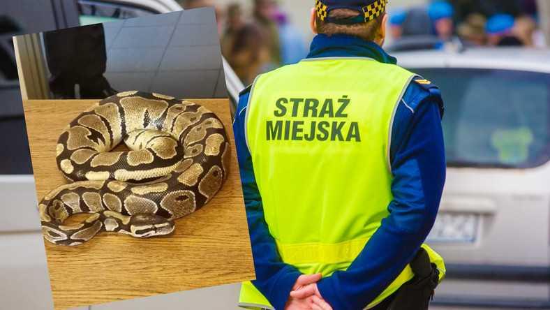 Pyton znaleziony w przejściu podziemnym w Sosnowcu. Wcześniej mężczyzna kąpał się z nim w miejskim parku