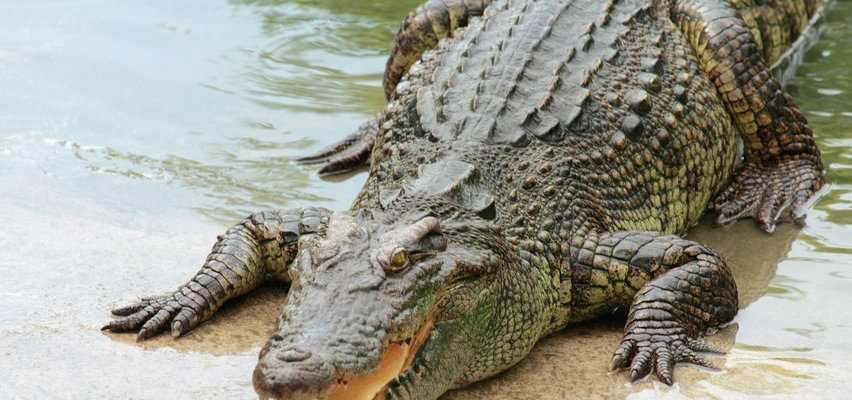 W czeskiej Ostrawie uciekł krokodyl. Mógł już dotrzeć do Polski
