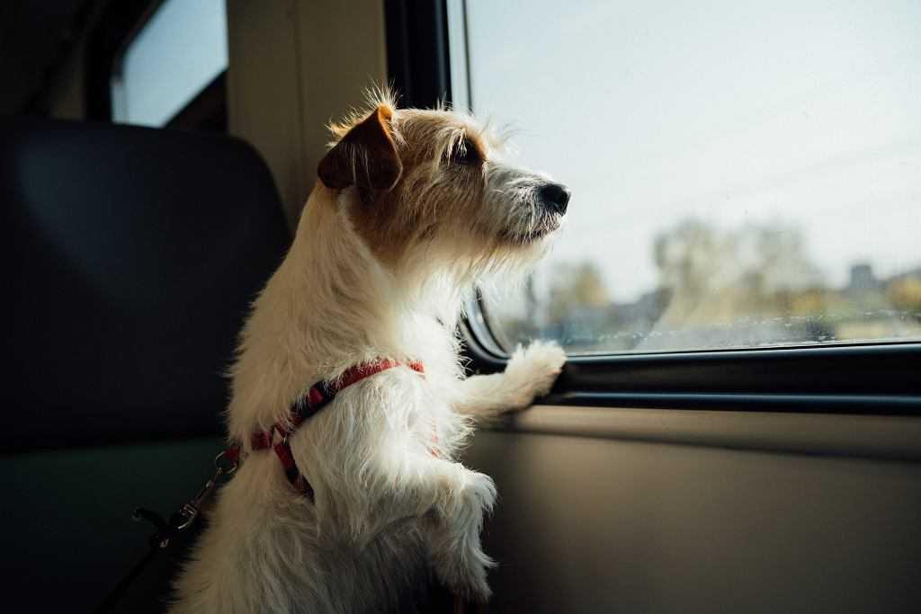 Pies pokonał prawie 400 km, by wrócić do domu. Zgubił się podczas wakacyjnego wyjazdu