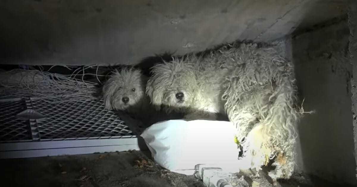 Dwa pudle mieszkają samotnie w kanale – gdy zapala się latarka natychmiast otwierają oczy