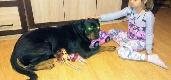 Dwa psy rzuciły się na 8-latkę i jej terierkę. Nagle zza dziewczynki wybiegł rottweiler